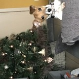 Chien Jack Russell Terrier Kallie