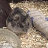 Rongeur Hamster Karamel
