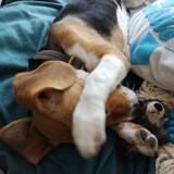 Chien Beagle Kaya