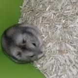 Rongeur Hamster Kenzo