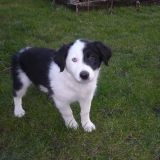 Chien Border Terrier Kiara