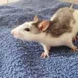 Rongeur Rat Kieran