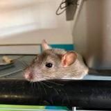 Rongeur Rat Kim-Un -Kimoune