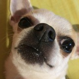 Chien Chihuahua Kinder