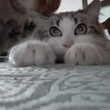 Chat Gouttière Kira