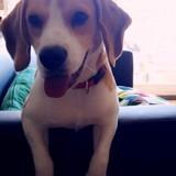 Chien Beagle Koda