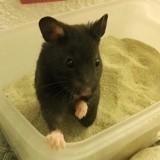 Rongeur Hamster Kriou-