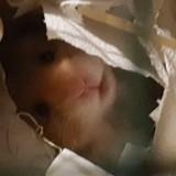 Rongeur Hamster Léo