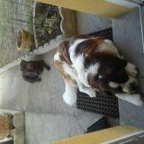 Chien Labrador Retriever Aslane