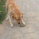 Chien Labrador Retriever Rocky