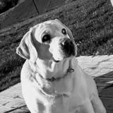 Chien Labrador Retriever Floyd
