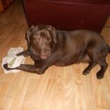 Chien Labrador Retriever Scarlet