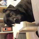 Chien Labrador Retriever Isy