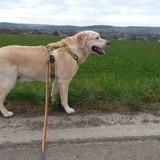 Chien Labrador Retriever Lyos