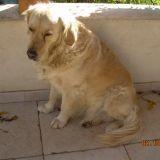 Chien Labrador Retriever Askia