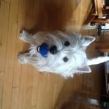 Chien West Highland White Terrier Laika