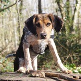 Chien Beagle Laika