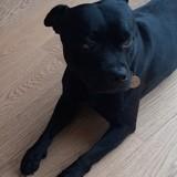 Chien Staffordshire Bull Terrier Laiko