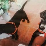 Chien Lakeland Terrier Nessy