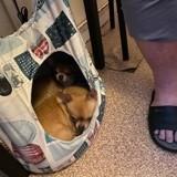 Chien Chihuahua Lali
