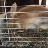 Rongeur Lapin Miss' Bunny