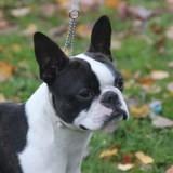 Chien Terrier de Boston Lascar