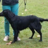 Chien Flat-Coated Retriever Laska