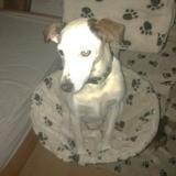 Chien Jack Russell Terrier Laska