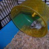 Rongeur Hamster Leelo