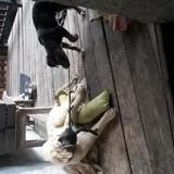 Chien Leonberger Aslan