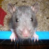 Rongeur Rat Les Bébé