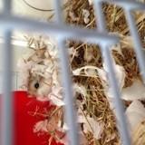 Rongeur Hamster Lexale