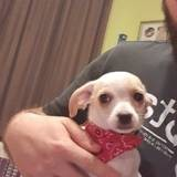 Chien Chihuahua Leyla