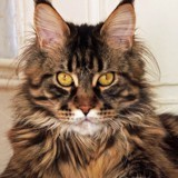 Chat Maine Coon Lhorys