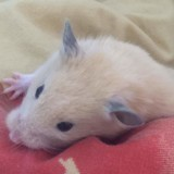 Rongeur Hamster Lili