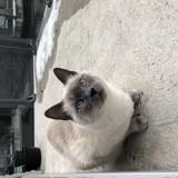 Chat Siamois Lilou
