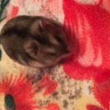 Rongeur Hamster Lily