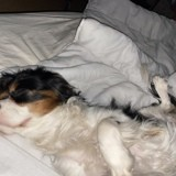Chien Cavalier King Charles Spaniel Lily