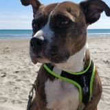 Chien Staffordshire Bull Terrier Lima