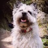 Chien Cairn Terrier Lol