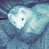 Rongeur Furet Lou