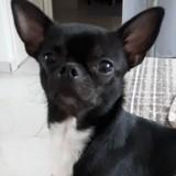 Chien Chihuahua Lou