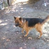 Chien Berger allemand Loulou