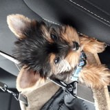 Chien Yorkshire Terrier Loup