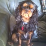 Chien King Charles Spaniel Lover