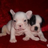 Chien Staffordshire Bull Terrier Lucien