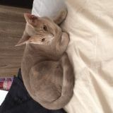 Chat Ocicat Lucky