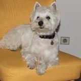 Chien West Highland White Terrier Lucky