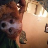 Chien Dandie Dinmont Terrier Lucky