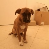 Chien Staffordshire Bull Terrier Lucky